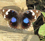 African Butterfly-Arusha Park, Tanzania