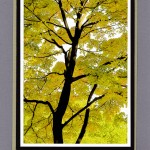Yellow Leaves Black Trunk Saratoga Springs-15